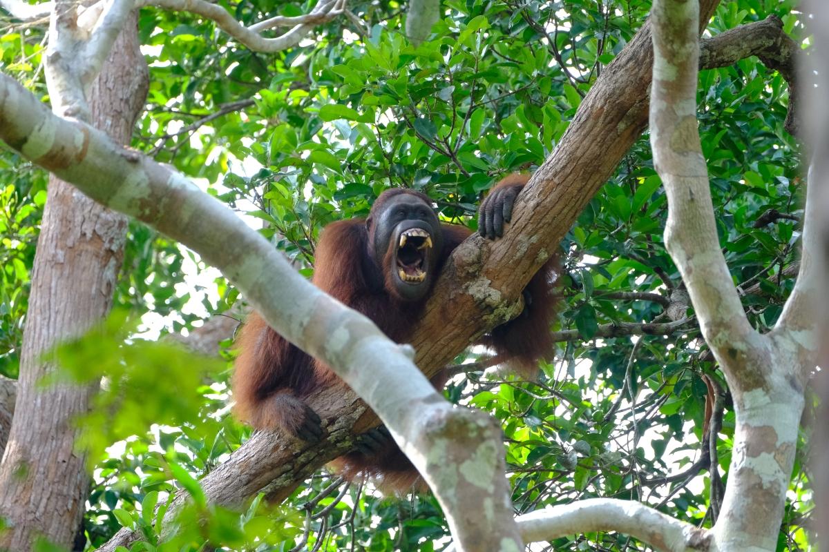 Melihat Orangutan di Taman Nasional TanjungPuting